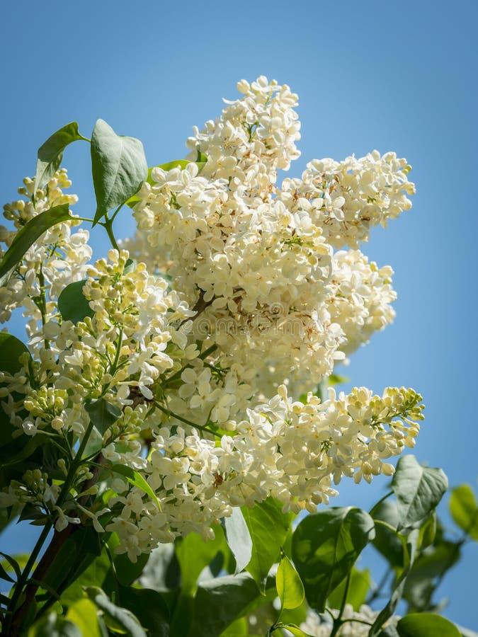 开花的白色丁香的开花在蓝天前面的 免版税库存图片