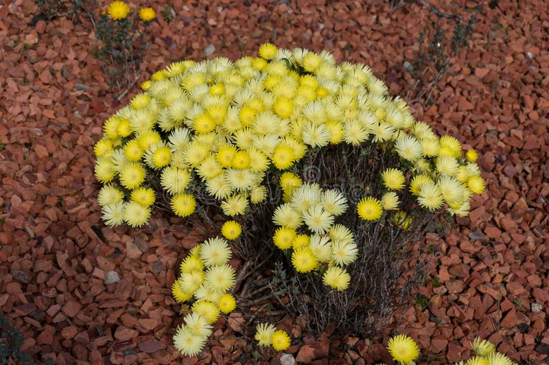 开花的白色冰厂在庭院里 强壮的沙漠植物 图库摄影