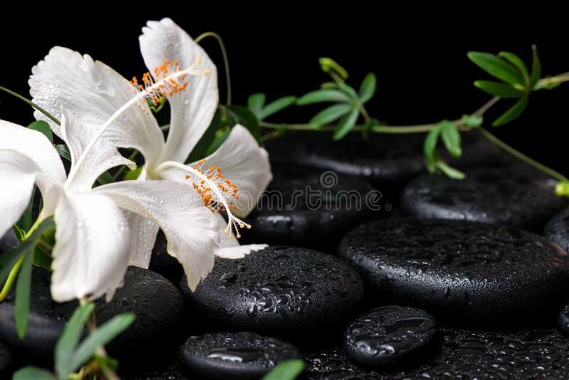 开花的白色木槿,绿色枝杈美丽的温泉静物画  免版税库存照片