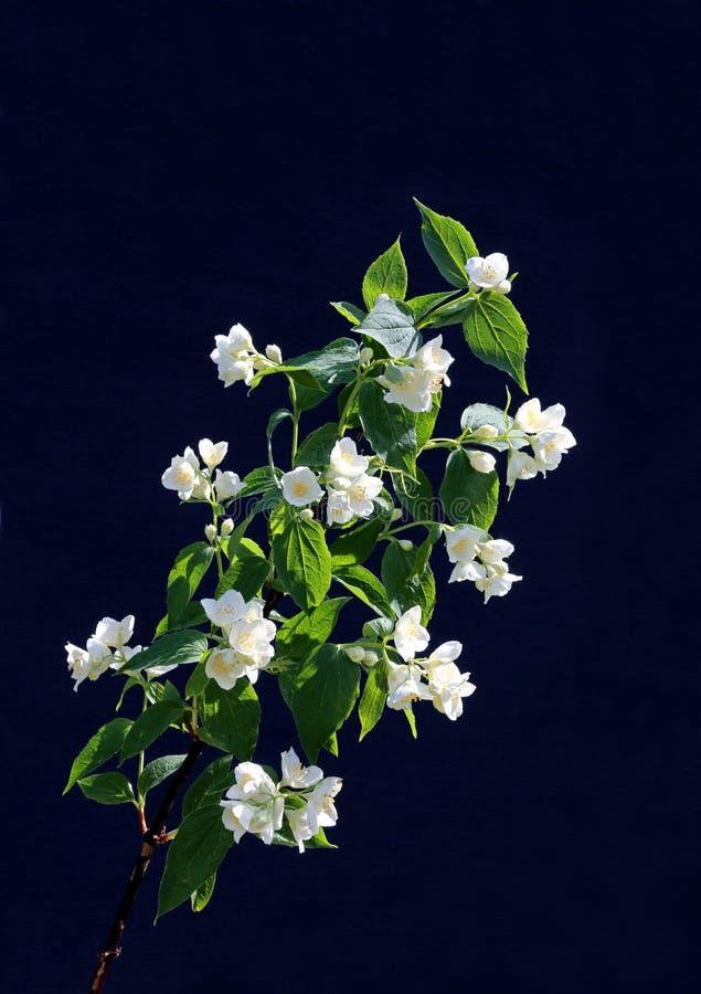 开花的白色茉莉花花分支  库存照片