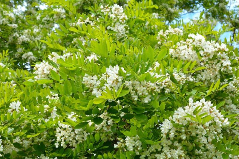 Download 开花的白色金合欢分支 库存照片. 图片 包括有 植物群, brighting, 开花的, 可以, 绿色, 叶子 - 72361220
