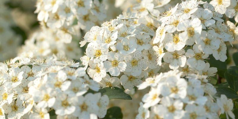 开花的白色spirea 免版税库存照片