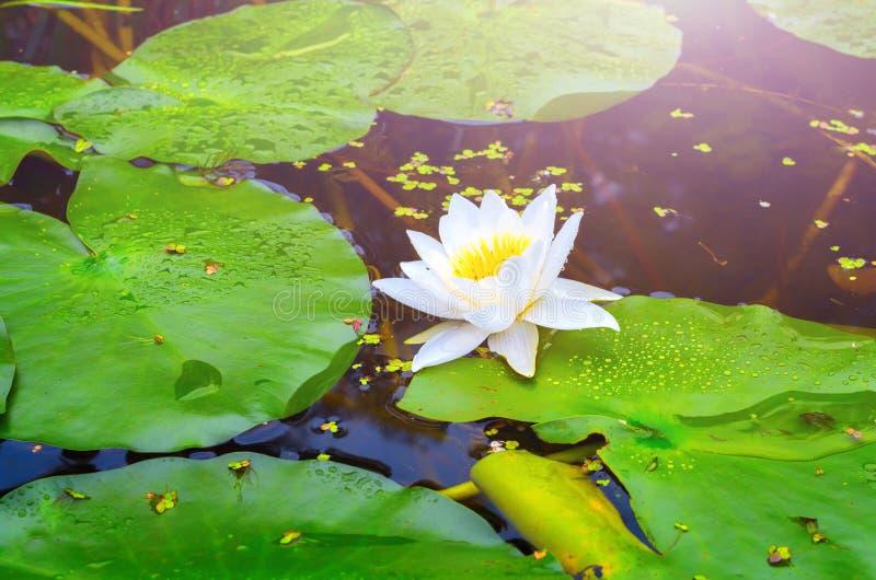 开花的白莲教和百合绿色叶子  库存图片