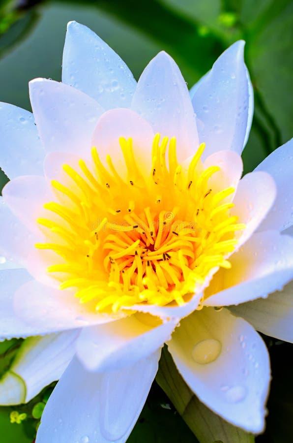 开花的白莲教和百合绿色叶子  免版税库存图片