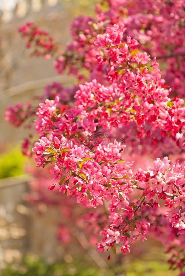 开花的皇族罗盘星座苹果树 免版税库存照片