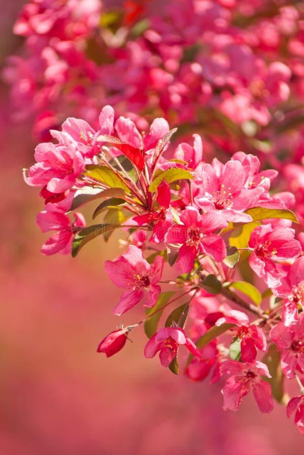 开花的皇族罗盘星座苹果树 库存图片