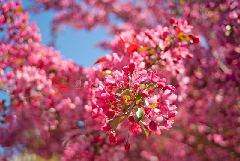 开花的皇族罗盘星座苹果树 图库摄影
