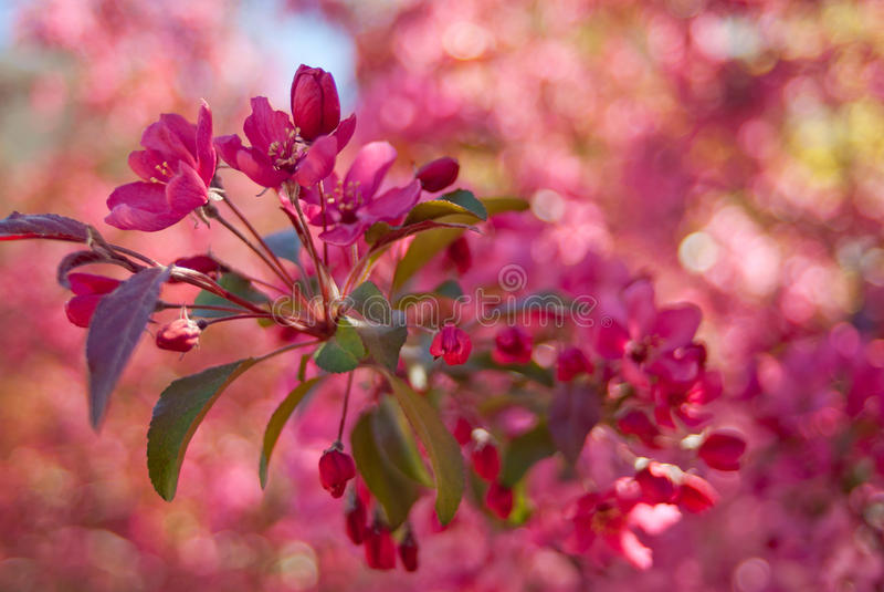 开花的皇族罗盘星座苹果树 免版税图库摄影