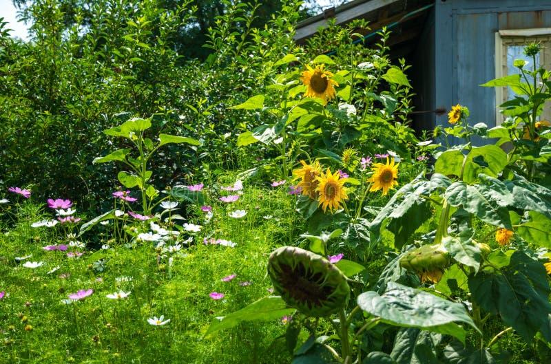 开花的秋天农村庭院 域花卉花向日葵黄色. 草坪, 绽放.