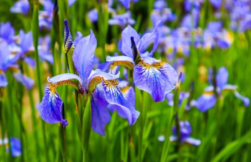 开花的紫罗兰色虹膜花在庭院里 r E 免版税库存照片