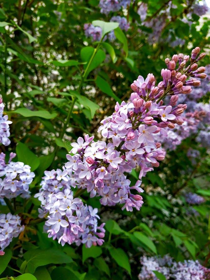 开花的紫色丁香小树枝在庭院里 库存照片