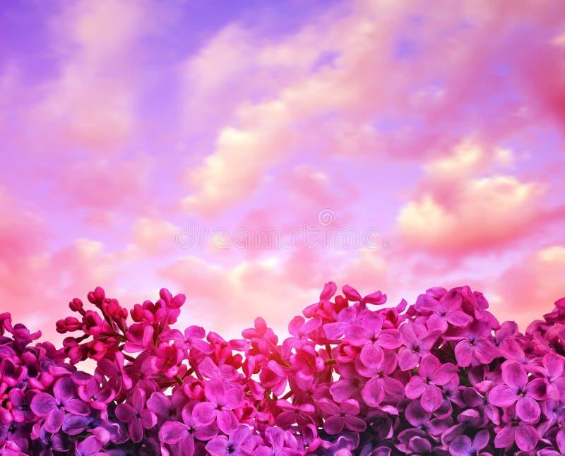 开花的紫色淡紫色花紧密在日落 免版税库存照片