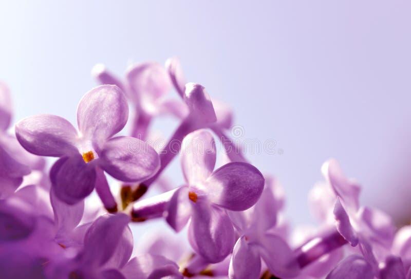开花的紫色淡紫色花紧密  库存图片