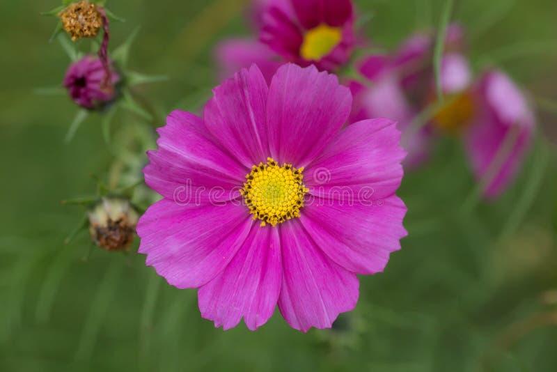 开花的紫色翠菊 免版税库存照片