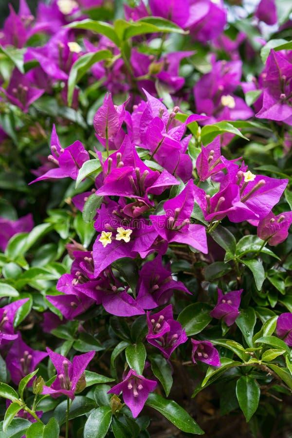 开花的紫色花,九重葛从巴西的glabra紫茉莉科 免版税库存图片