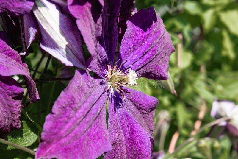 开花的紫色铁线莲属在绿色叶子背景的庭院里  库存图片