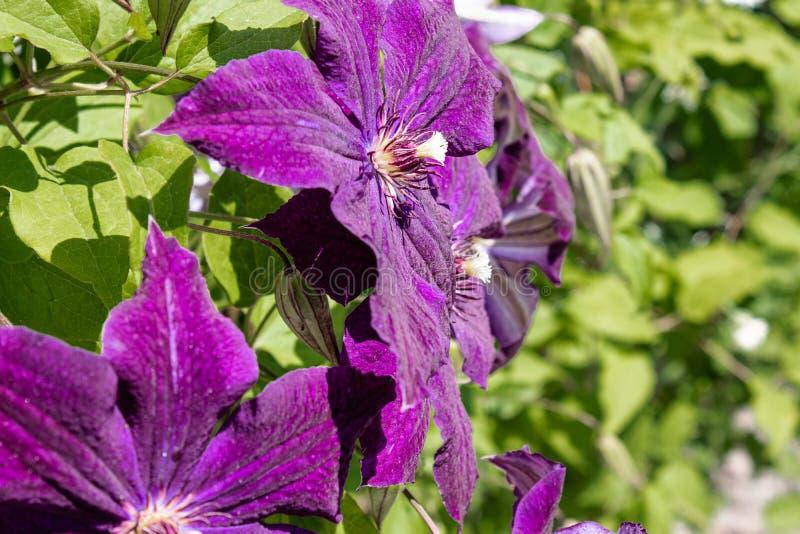 开花的紫色铁线莲属在绿色叶子背景的庭院里  库存照片