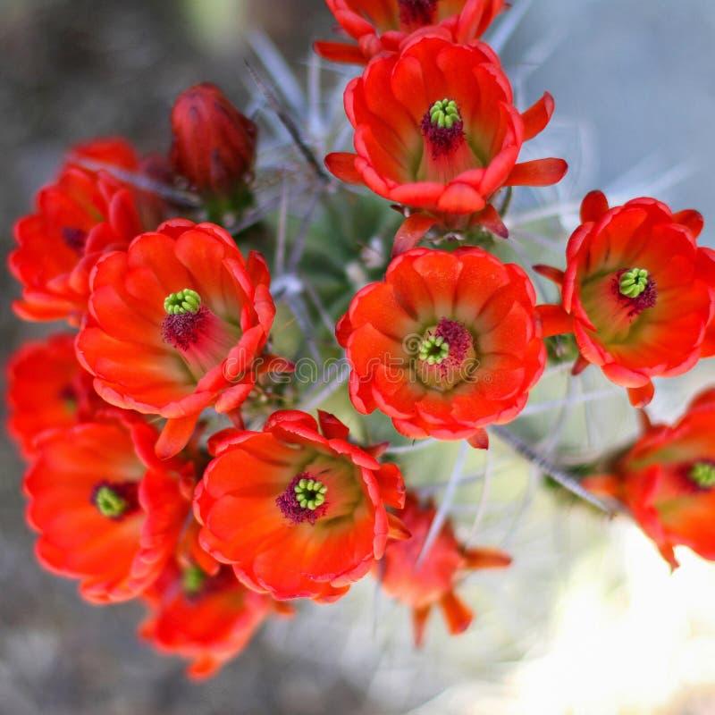 开花的红色仙人掌花 免版税图库摄影