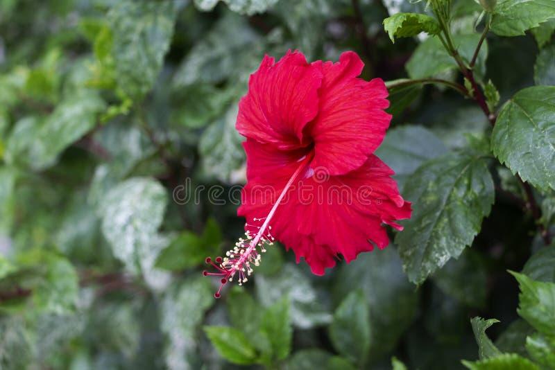 开花的红色木槿花的关闭在热带的庭院里 免版税图库摄影