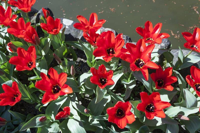 开花的红色郁金香背景在春天 库存图片
