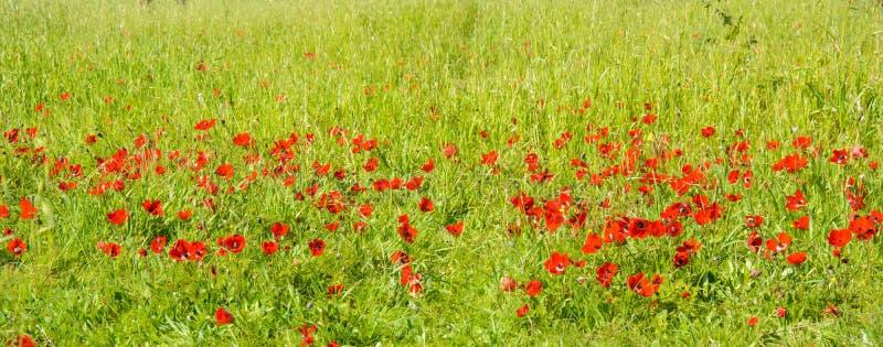 开花的红色银莲花属 库存照片