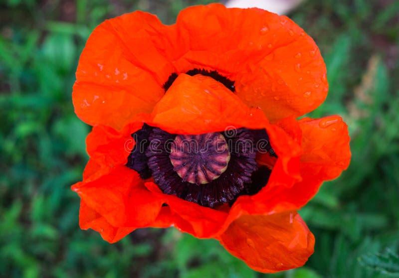 开花的红色鸦片的美丽的花在庭院里 库存图片