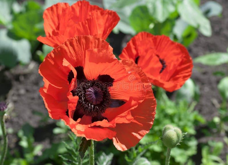 开花的红色poppys 免版税库存图片