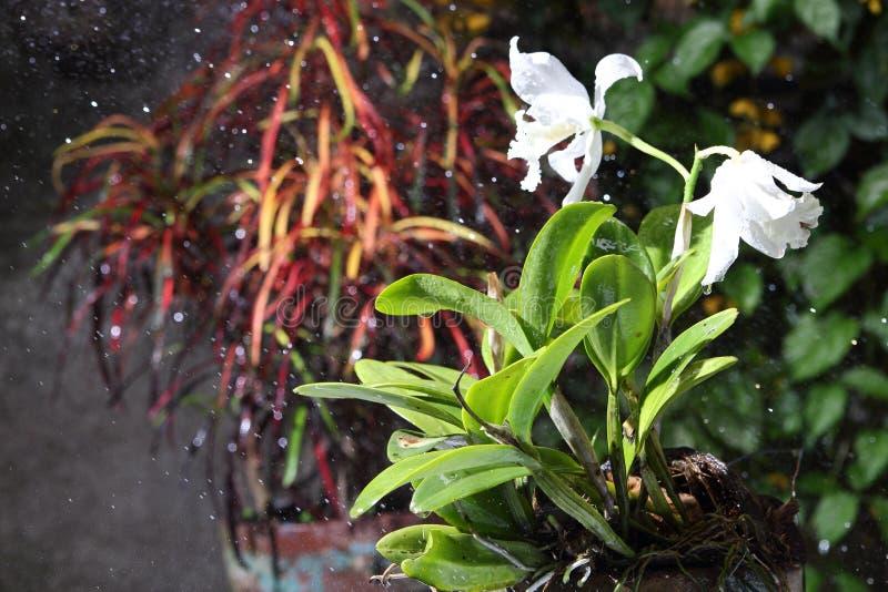开花的纯净的白色cattleya兰花在雨中 免版税库存照片