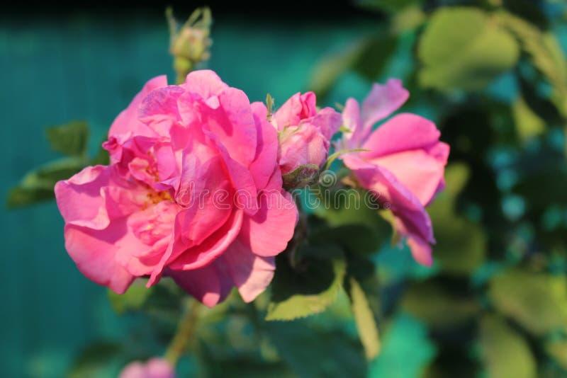 开花的罗斯 夏天花在村庄 背景美丽的刀片花园 热夏天 免版税库存照片