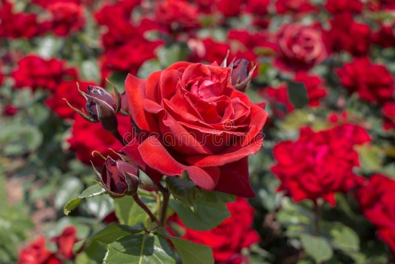 开花的美丽的五颜六色的玫瑰在庭院里 免版税库存照片
