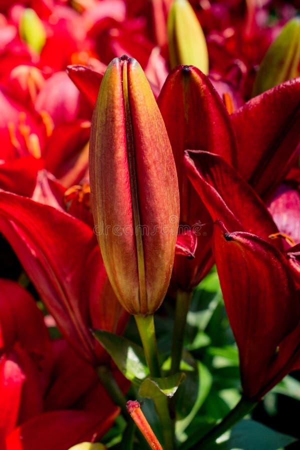 开花的美丽的百合花蕾视线内 免版税图库摄影