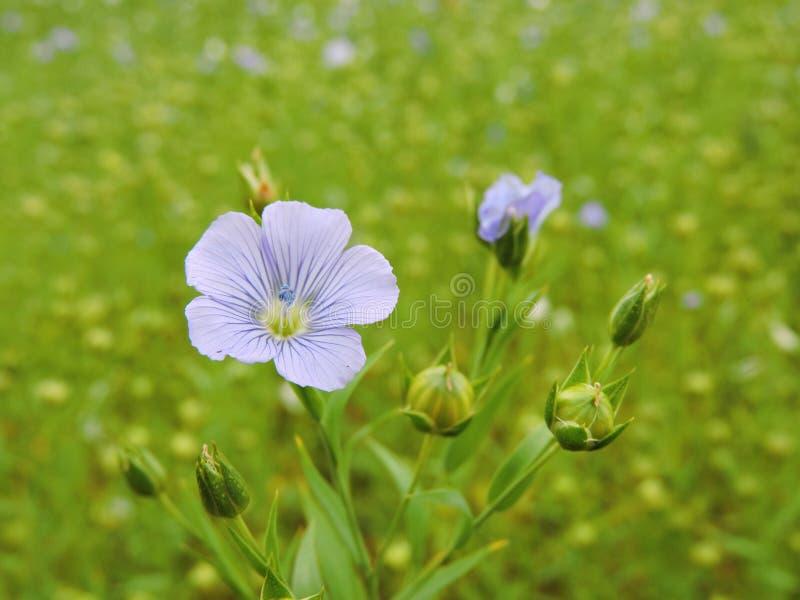 开花的胡麻植物 免版税图库摄影