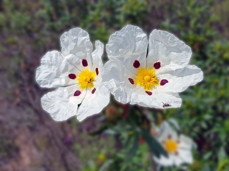 开花的胶沙漠座莲-在荒地的水犀科ladanifer调遣f 图库摄影