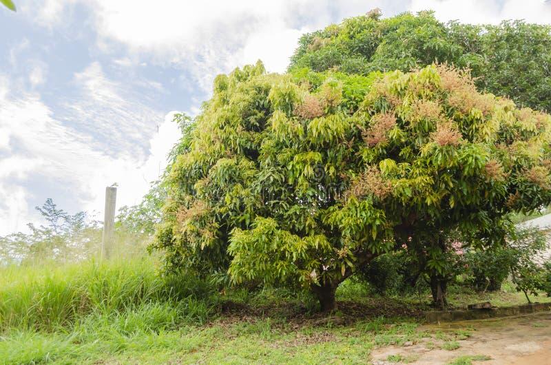 开花的芒果树 免版税库存照片