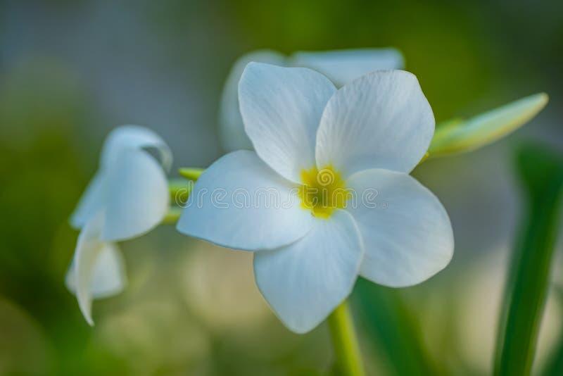 开花的花和树在马尔代夫,异乎寻常的植物他们的自然地场面的,马尔代夫动物区系 免版税库存照片