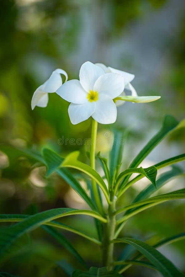 开花的花和树在马尔代夫,异乎寻常的植物他们的自然地场面的,马尔代夫动物区系 图库摄影