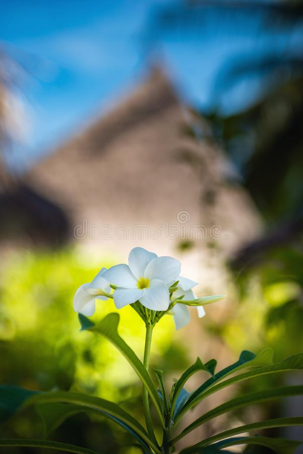 开花的花和树在马尔代夫,异乎寻常的植物他们的自然地场面的,马尔代夫动物区系 库存照片
