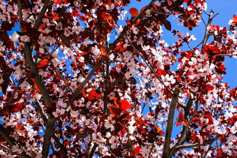 开花的花在以色列 免版税图库摄影