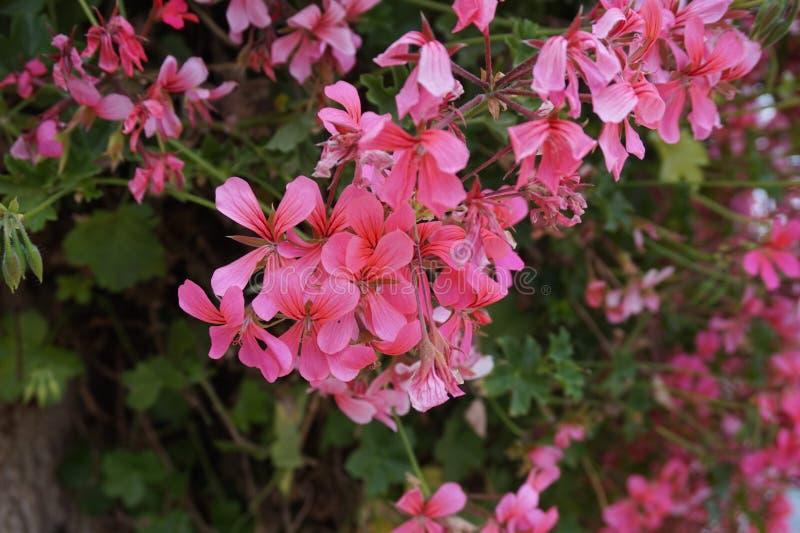 开花的花的明亮的颜色很快将变换我们的庭院 库存照片