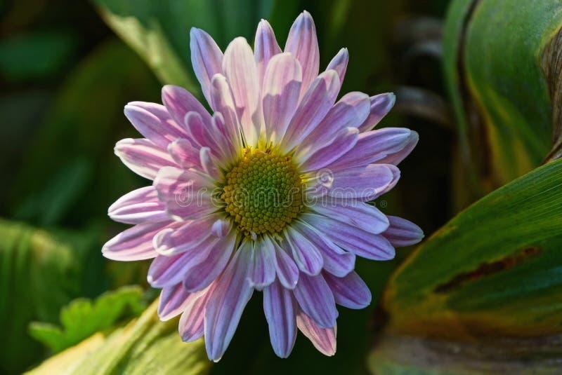 开花的芽上色了在茎的花 免版税库存照片