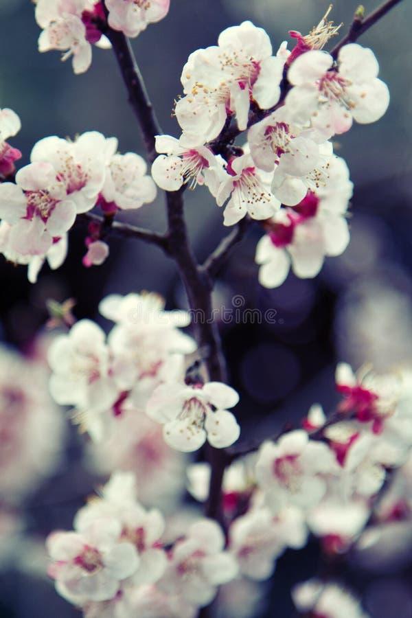 开花的苹果和杏子果树园在一点喜马拉雅山 免版税图库摄影