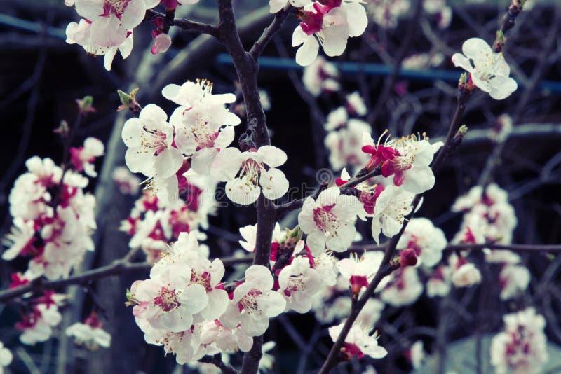 开花的苹果和杏子果树园在一点喜马拉雅山 免版税库存照片