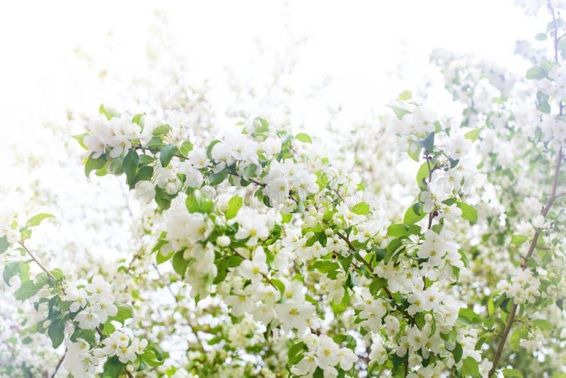 开花的苹果树分支、白花和绿色叶子在被弄脏的晴朗的天空背景关闭,春天樱花 免版税库存图片