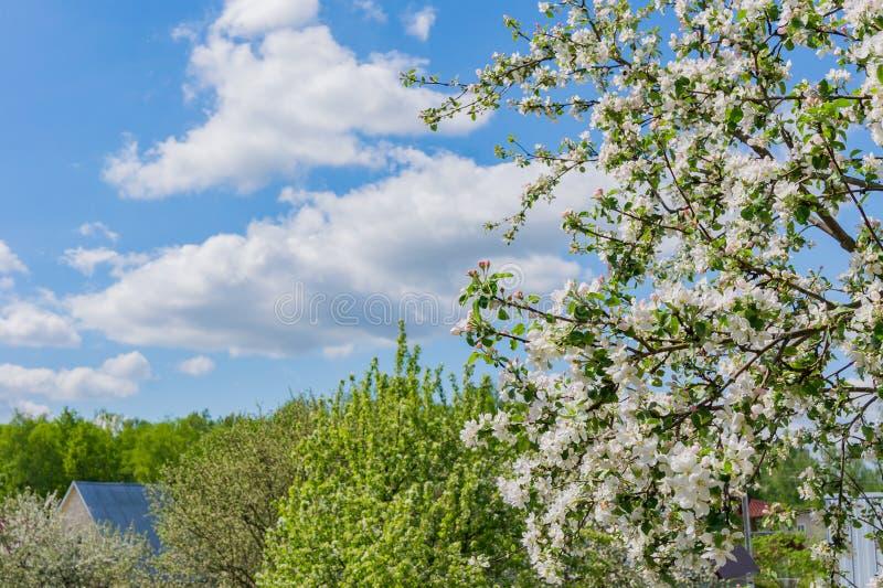 开花的苹果树在庭院里在一个晴朗的春日 图库摄影