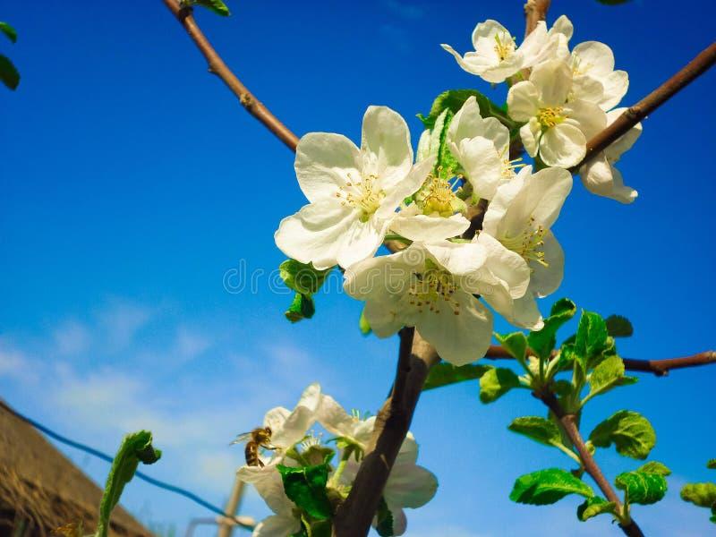 开花的苹果树在春天庭院 免版税库存照片