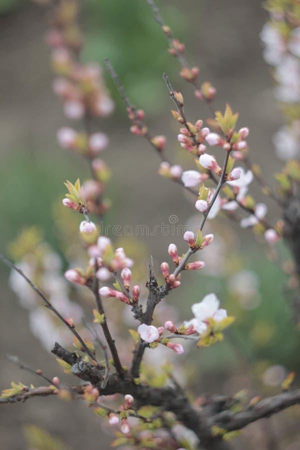 开花的苹果树庭院,但是 免版税库存图片