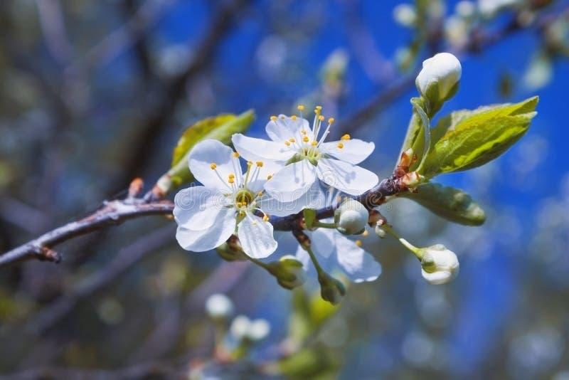 开花的苹果树照片在蓝天的 Tu Bishvat贺卡的背景或海报新年树 犹太ho 免版税库存照片