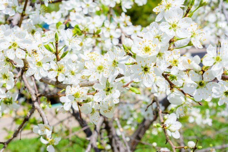 开花的苹果树罗盘星座prunifolia,中国苹果,中国crabapple传播了芬芳芳香 在充分的苹果树 免版税库存图片