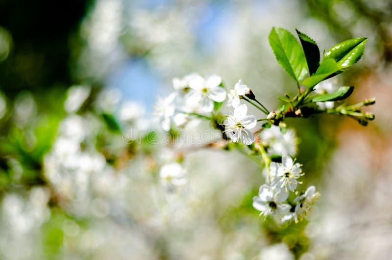 开花的苹果树,庭院,反对天空蔚蓝的春天花 免版税库存照片