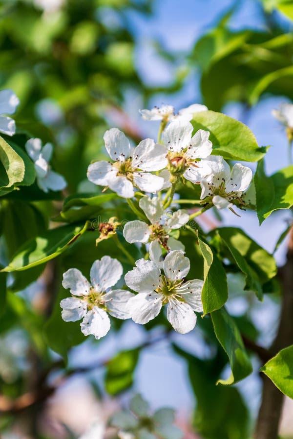 开花的苹果树,白花,反对蓝天背景 免版税库存图片